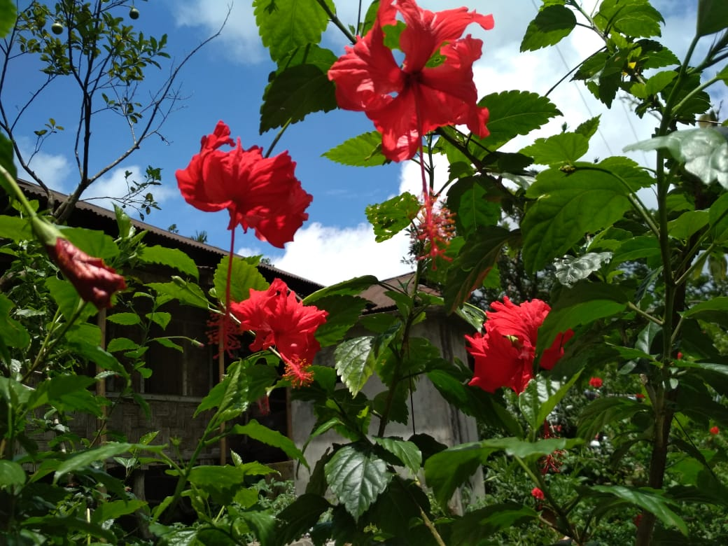 hibiscus for hair loss